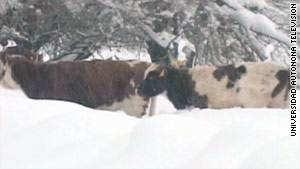 """Cattle in Chile wade through the snow, which the Interior minister has described as a """"white earthquake."""""""