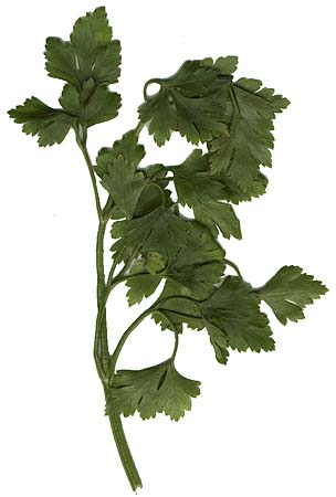 Parsley's ability to stimulate menstruation