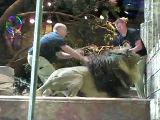 MGM defends safety practices after lion attack caught on