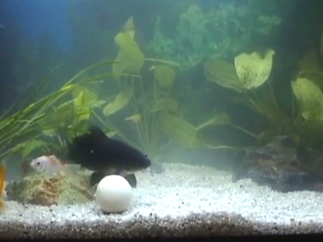 biodegradable golf ball feeds goldfish
