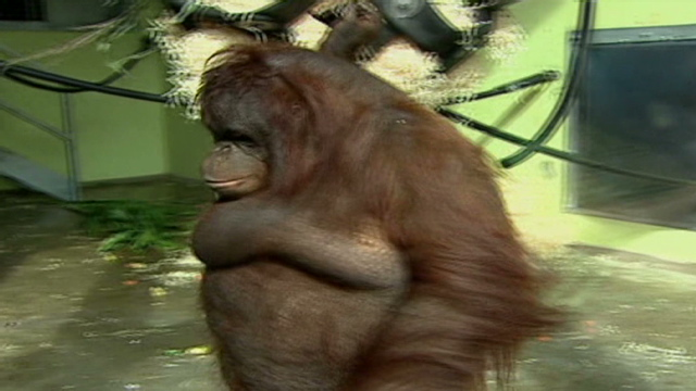 rescue center steps in to slim down obese orangutan