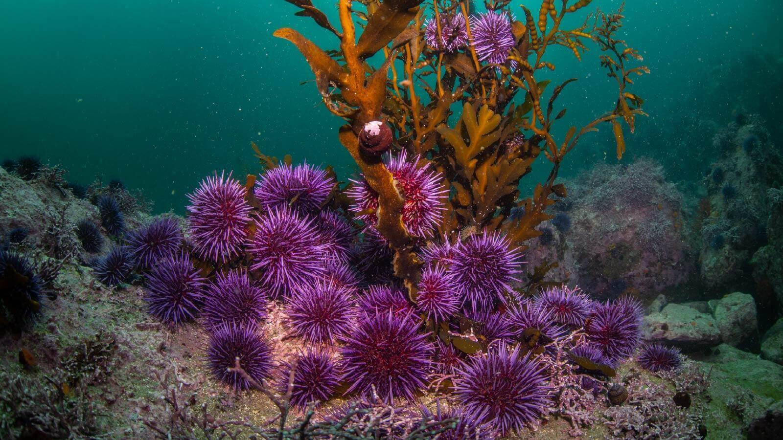 An army of 'zombie urchins' has devastated this underwater forest